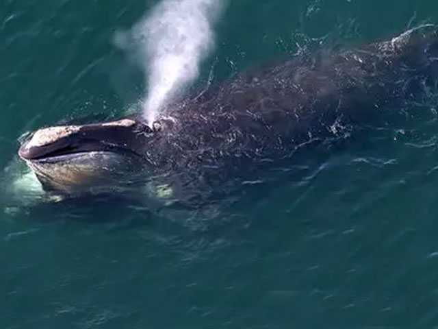 Study: Blowhole Spray Can Provide Fast Data on Whale Health