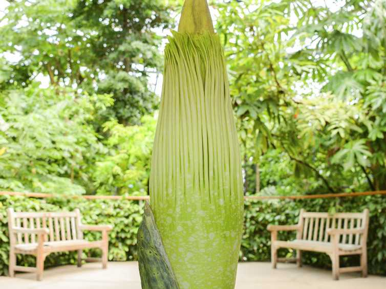 Stinky Corpse Flower Expected to Bloom in California