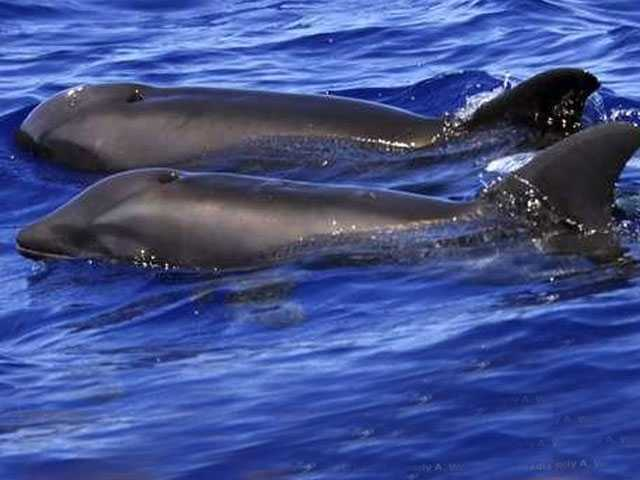 Don't Call Dolphin Hybrid Spotted off Hawaii a 'Wholphin'