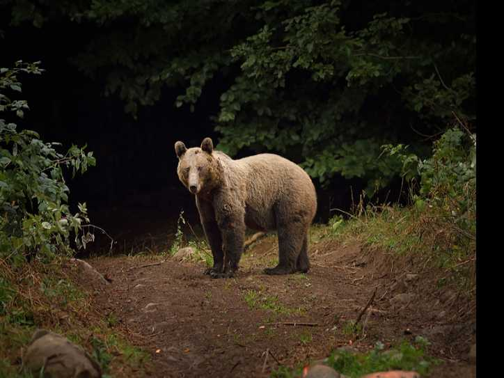 Tourists Report Bear Attacks in Romania