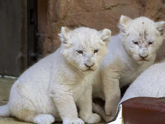 Tipping the Scales: White Lion Cubs Bulking Up in Germany