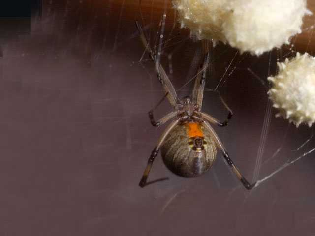 Eek! Non-Native Venomous Spider Found Living in Oregon