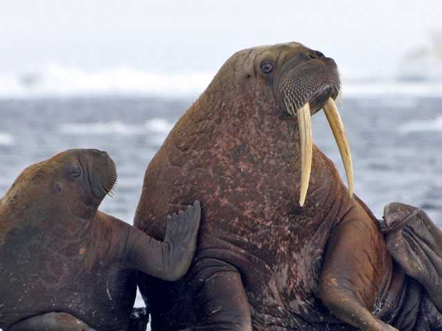 As Sea Ice Melts, Some Say Walruses Need Better Protection