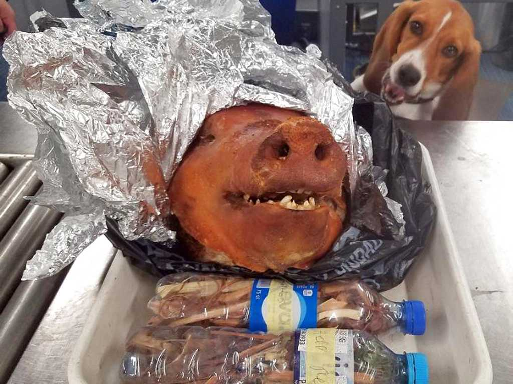 Beagle Intercepts Roasted Pig at Atlanta Airport