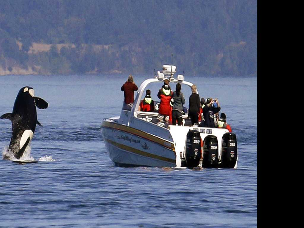Group Calls to Suspend Boat Tours of Endangered Orcas