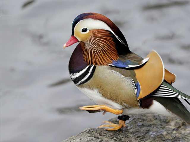 Quackarazzi: Mandarin Duck Holds NYC in Its Spell