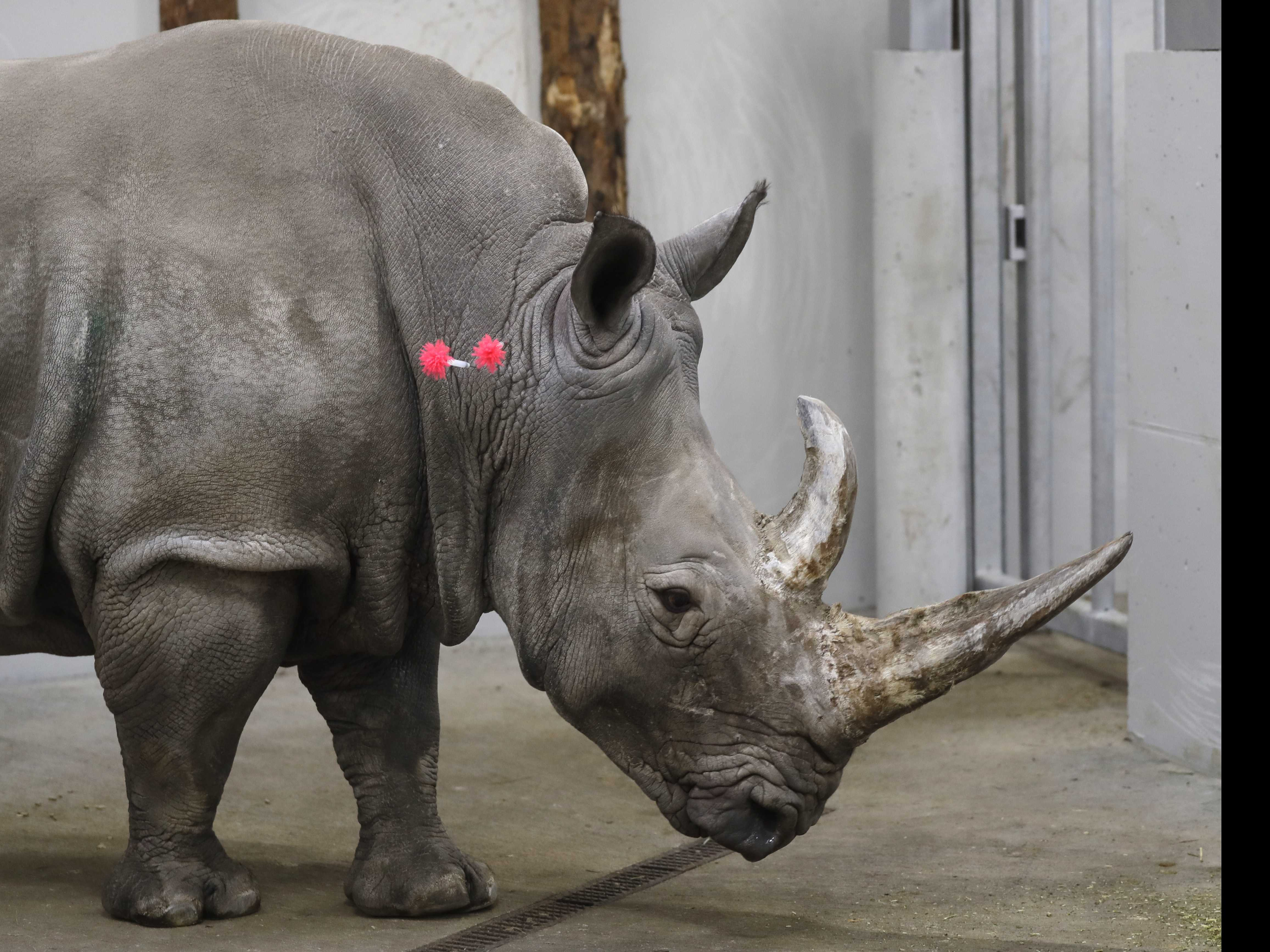 AP PHOTOS: Scientists Fine-Tune Method to Save Rhinos