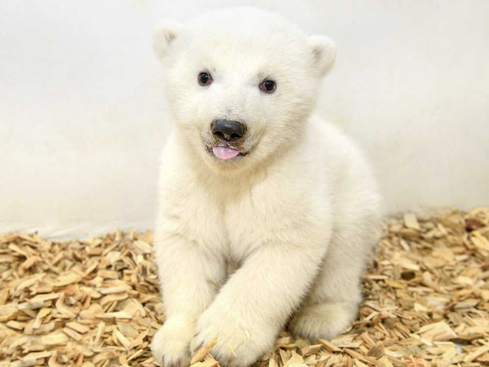 It's a Girl! Berlin Zoo's Baby Polar Bear has 1st Checkup