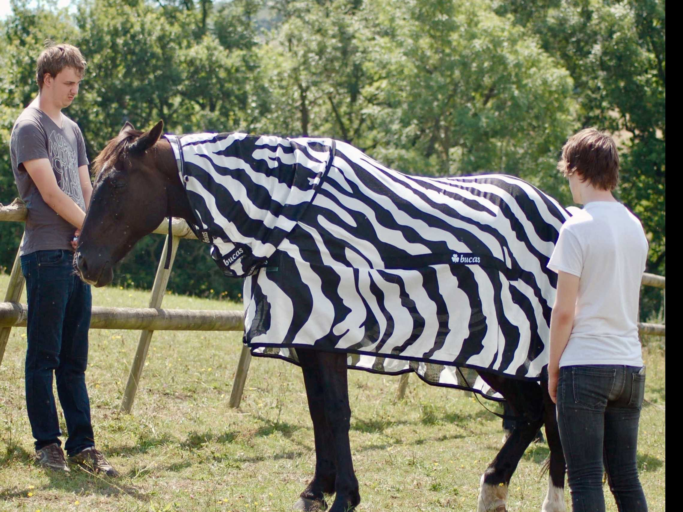 Why Do Zebras Have Stripes? Perhaps to Dazzle Away Flies