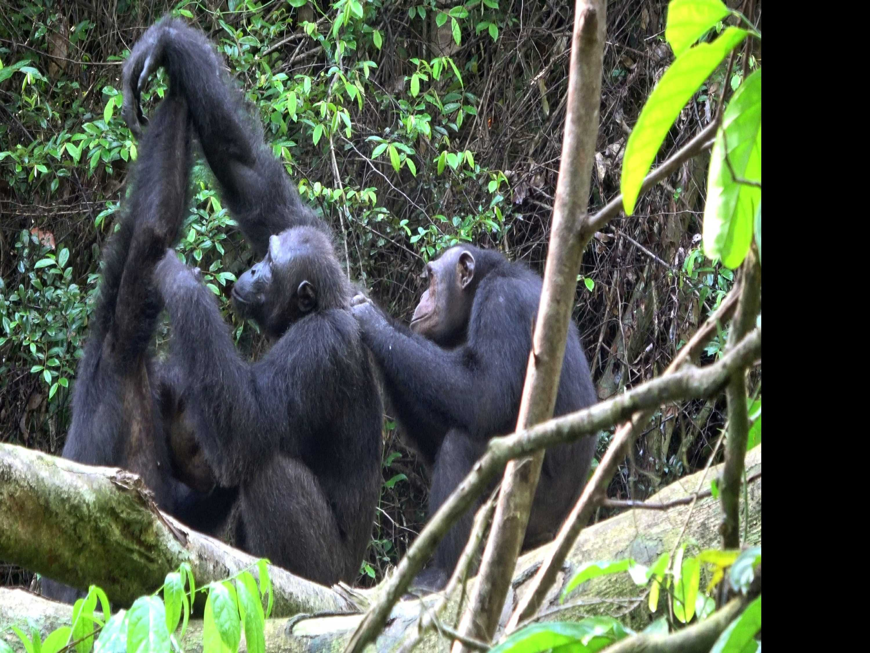 Chimps Varied 'Culture' Matters for Conservation, Study Says