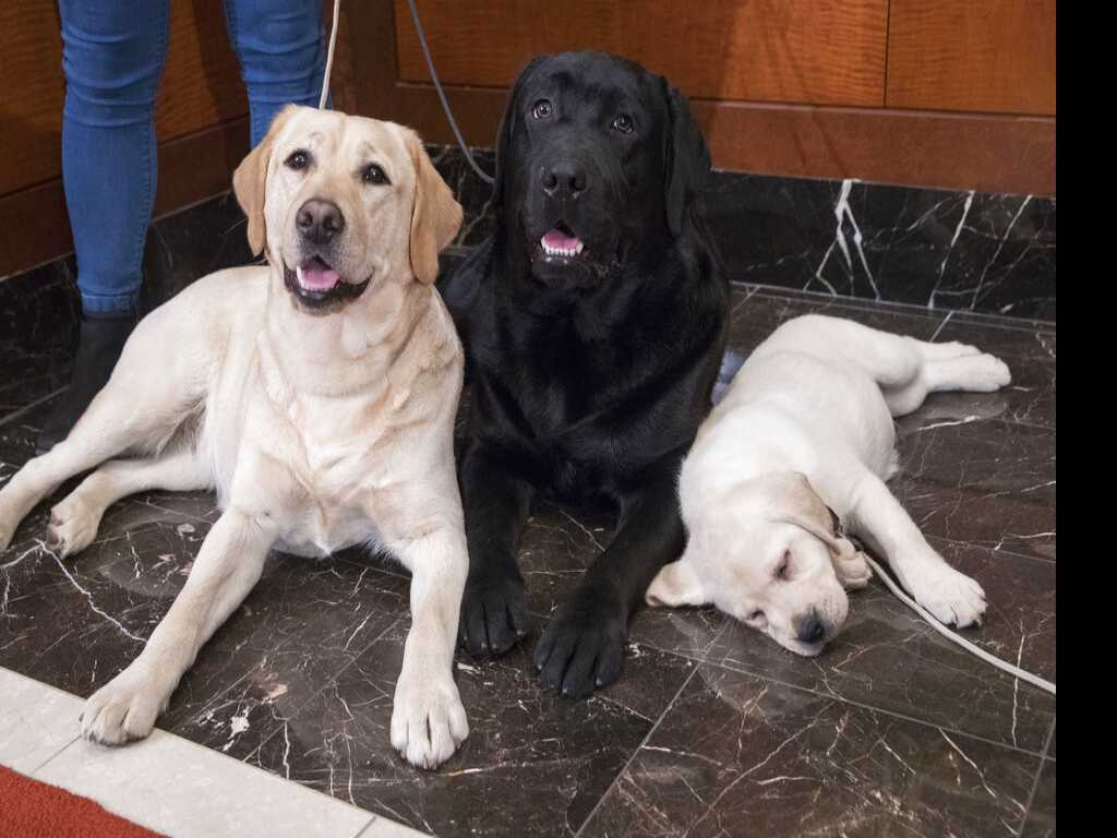 Labrador Retriever Most 'Pup-ular' U.S. Dog for 28th Year