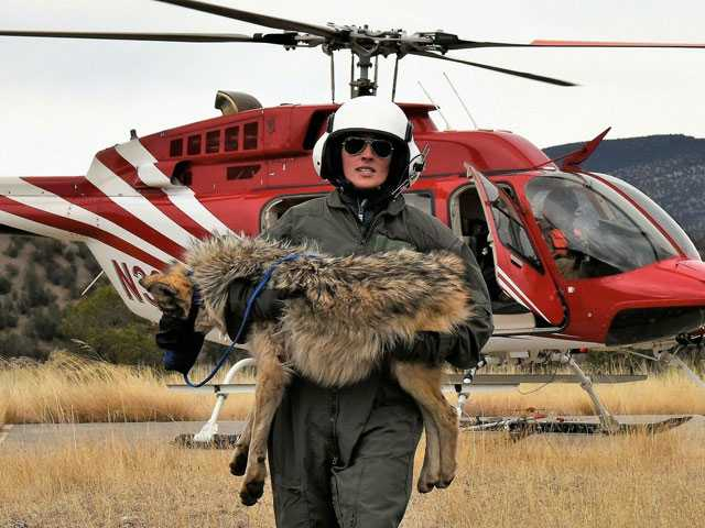 Survey: More Mexican Gray Wolves Roaming Southwestern U.S.