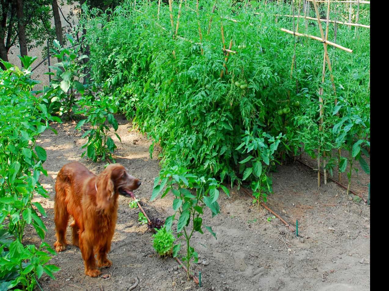Keep Pets Away From Gardens to Avoid Food-Borne Illness